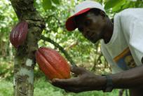 São Tomé cacao plant